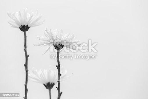 477312602istockphoto white chrysanthemum bw 483543246