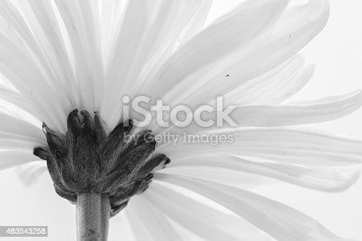 477312602istockphoto white chrysanthemum bw 483543258