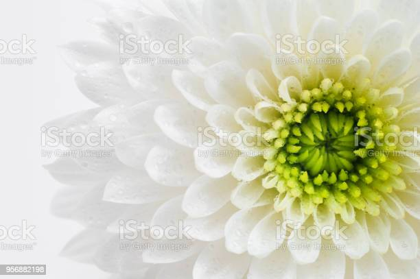 White chrysanthemum closeup picture id956882198?b=1&k=6&m=956882198&s=612x612&h=3mudov29bx 50g 76snfxsxsis6oqfxix1ngigaacj4=