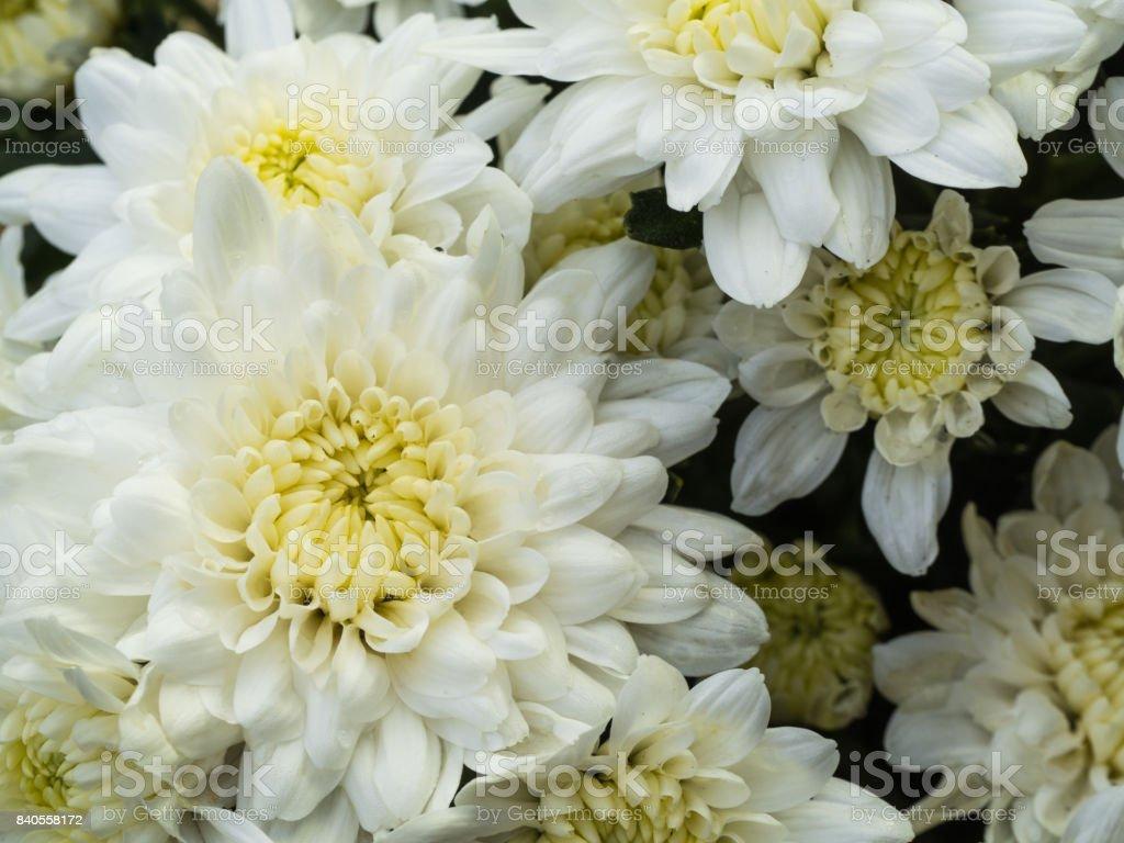 White Chrysanthemum Flower Blooming Stock Photo Istock