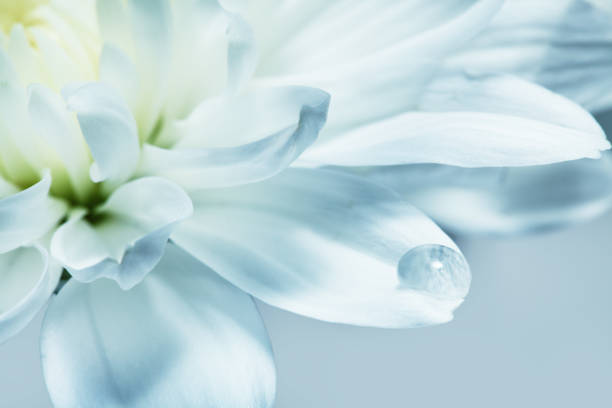 White chrysanthemum flower, macro shoot stock photo