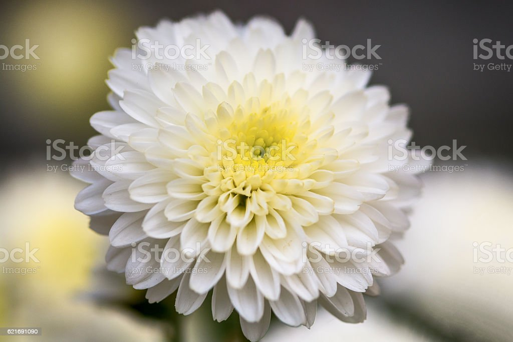White Chrysanthemum Flower Petals stock photo