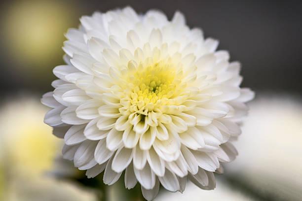 white chrysanthemum flower petals - chrysant stockfoto's en -beelden