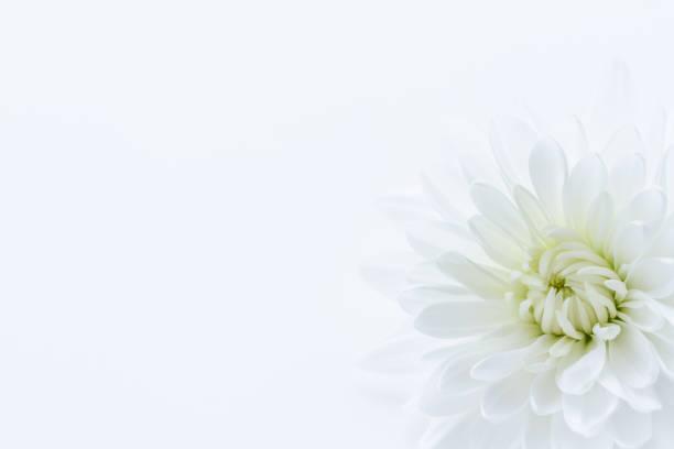 wit chrysant bloem - chrysant stockfoto's en -beelden