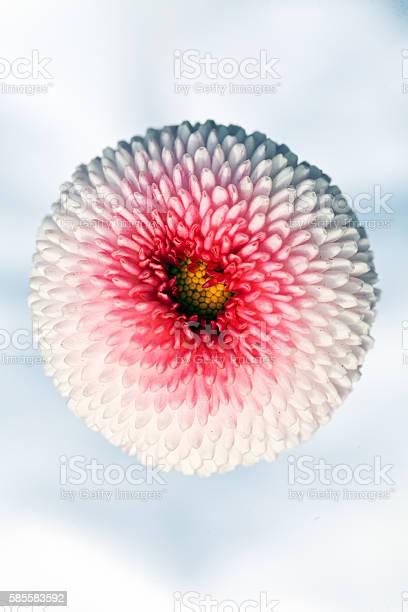 White chrysanthemum flower picture id585583592?b=1&k=6&m=585583592&s=612x612&h=81rsiptfamvr0r8k4kuankdb ipedgycimzc07bjpus=