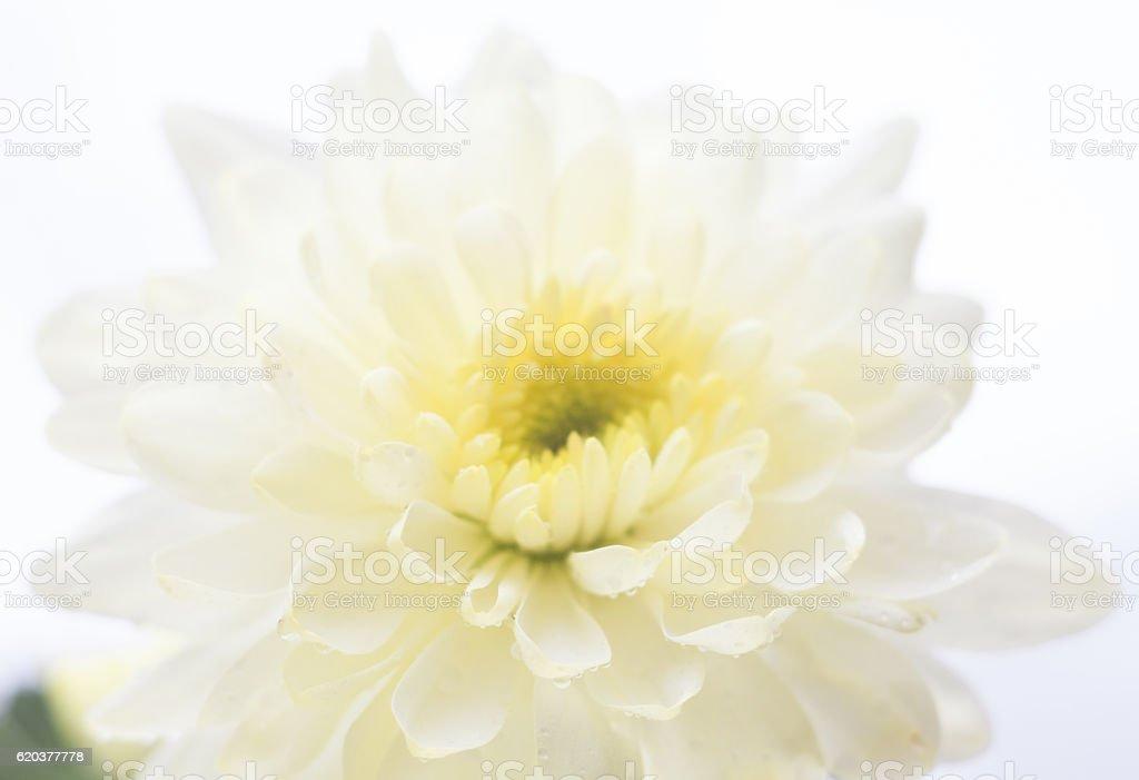 Crisântemo branco Flor foto de stock royalty-free