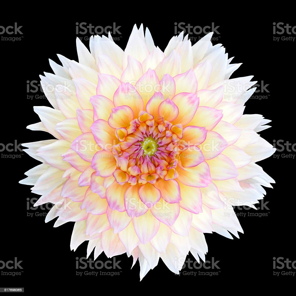 White Chrysanthemum Flower With Purple Center Isolated Stock Photo