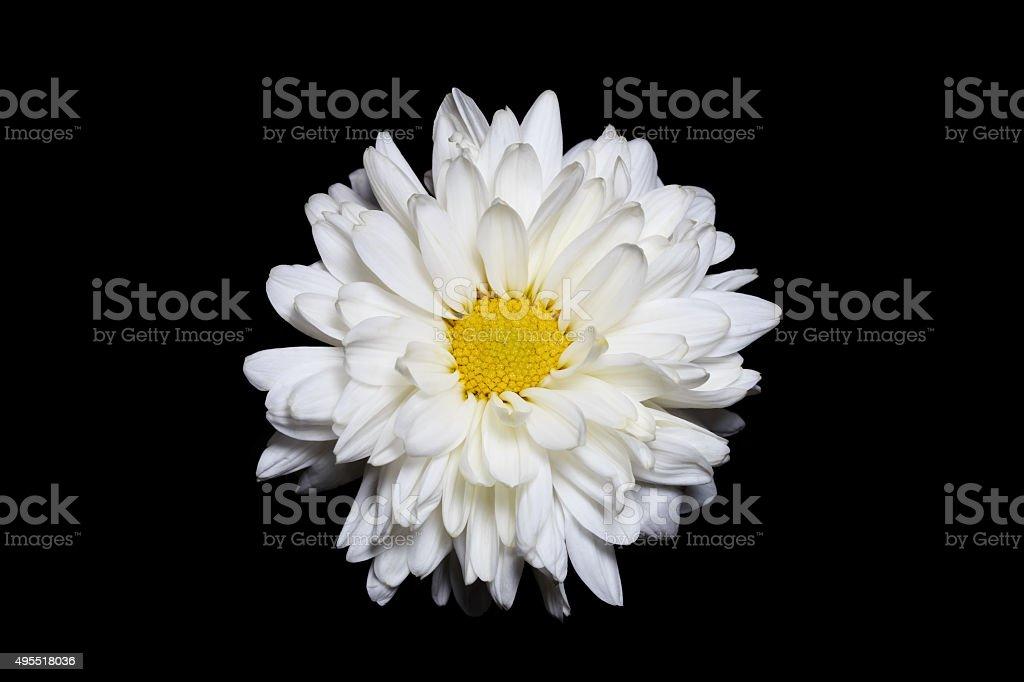 White chrysanthemum flower with yellow center isolated on black white chrysanthemum flower with yellow center isolated on black background royalty free stock photo mightylinksfo