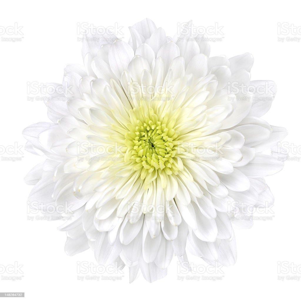 White Chrysanthemum Flower with Yellow Center Isolated stock photo