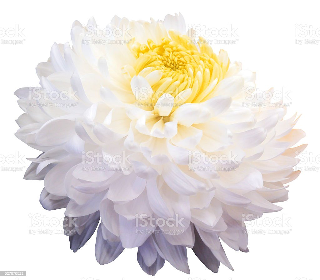 White Chrysanthemum Flower Yellow Center Black Background Isolated