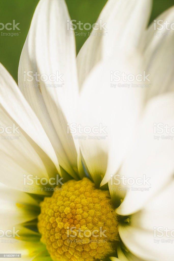 White Chrysanthemum (daisy) flowers against green grass stock photo