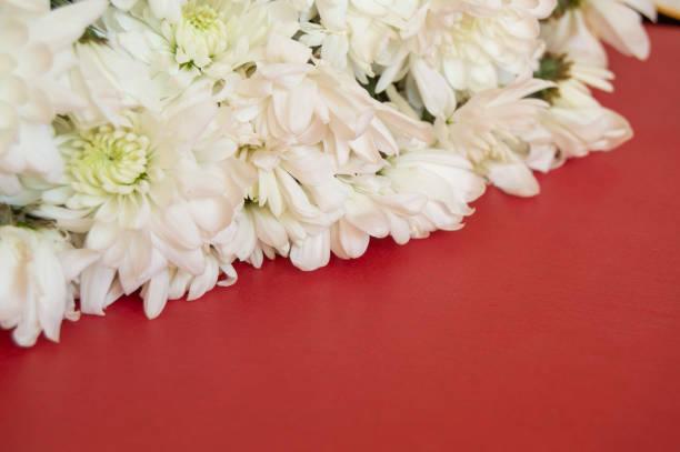 weiße chrysantheme auf rotem grund. frauentag, valentinstag, muttertag. raum, selektiven fokus zu kopieren. natürliche optische unschärfe. - hochzeitsspiele eltern stock-fotos und bilder