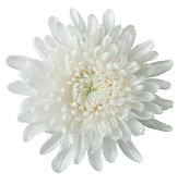 istock white chrysanthemum 183802010