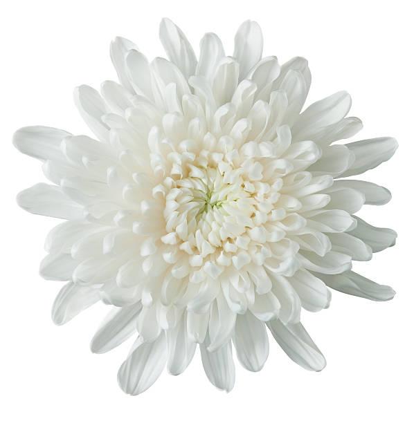 white chrysanthemum - chrysant stockfoto's en -beelden