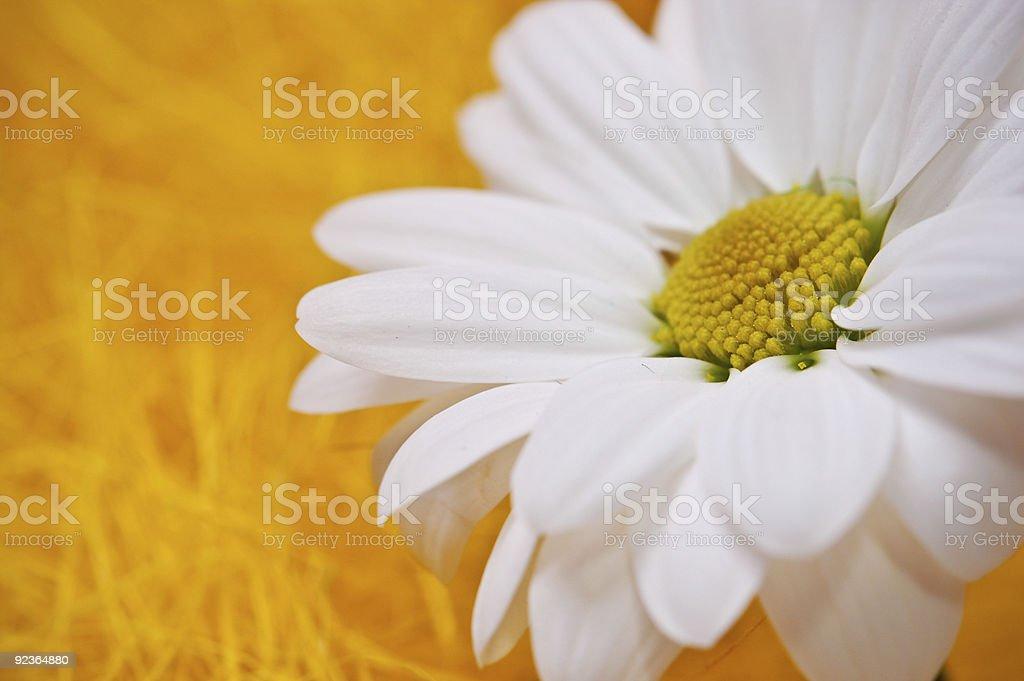 white chrysanthemum royalty-free stock photo