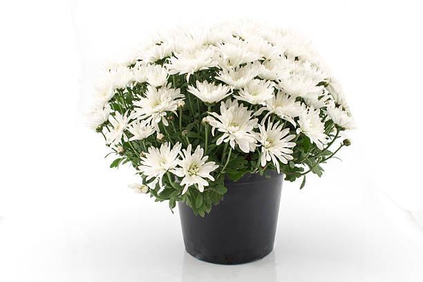 White Chrysanthemum Potted stock photo