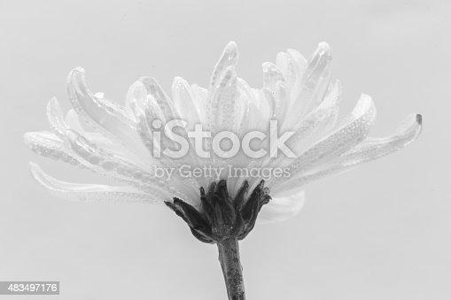 477312602istockphoto white chrysanthemum & water drop 483497176