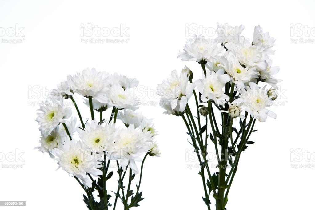white chrysanthemums closeup royalty-free stock photo