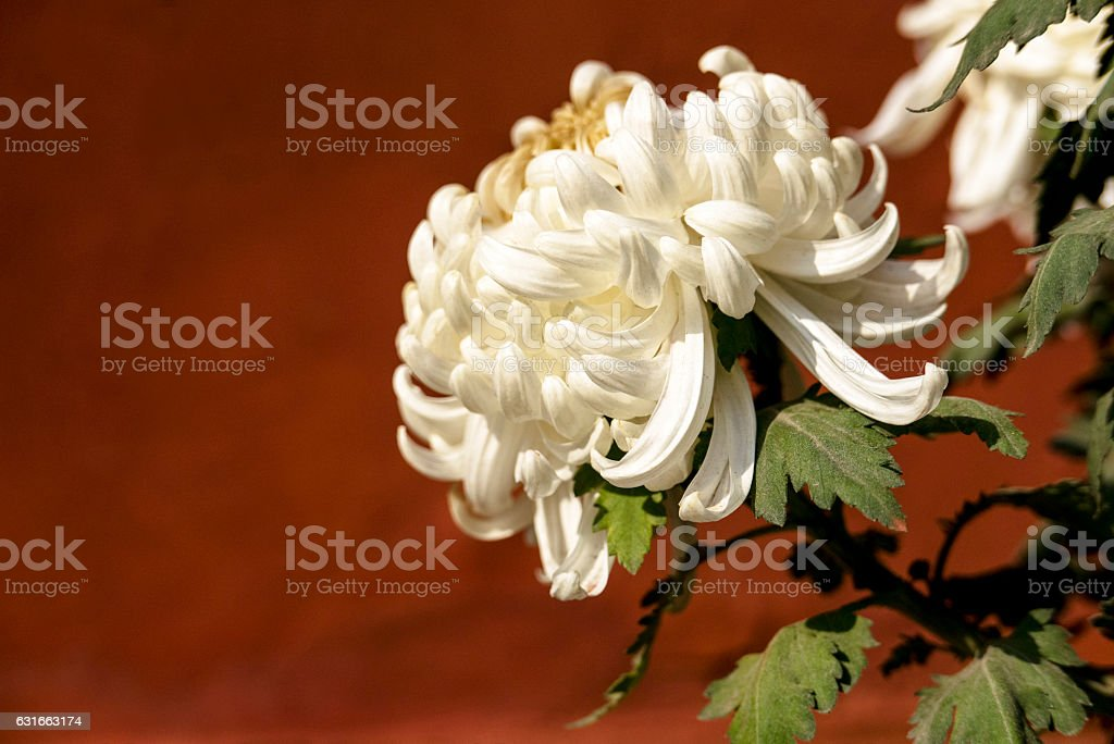 white chrysanthemums stock photo