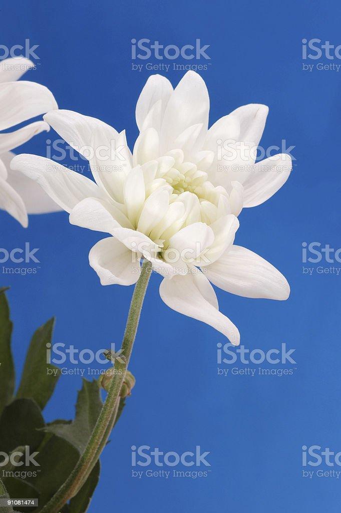 white chrysanthemums … royalty-free stock photo
