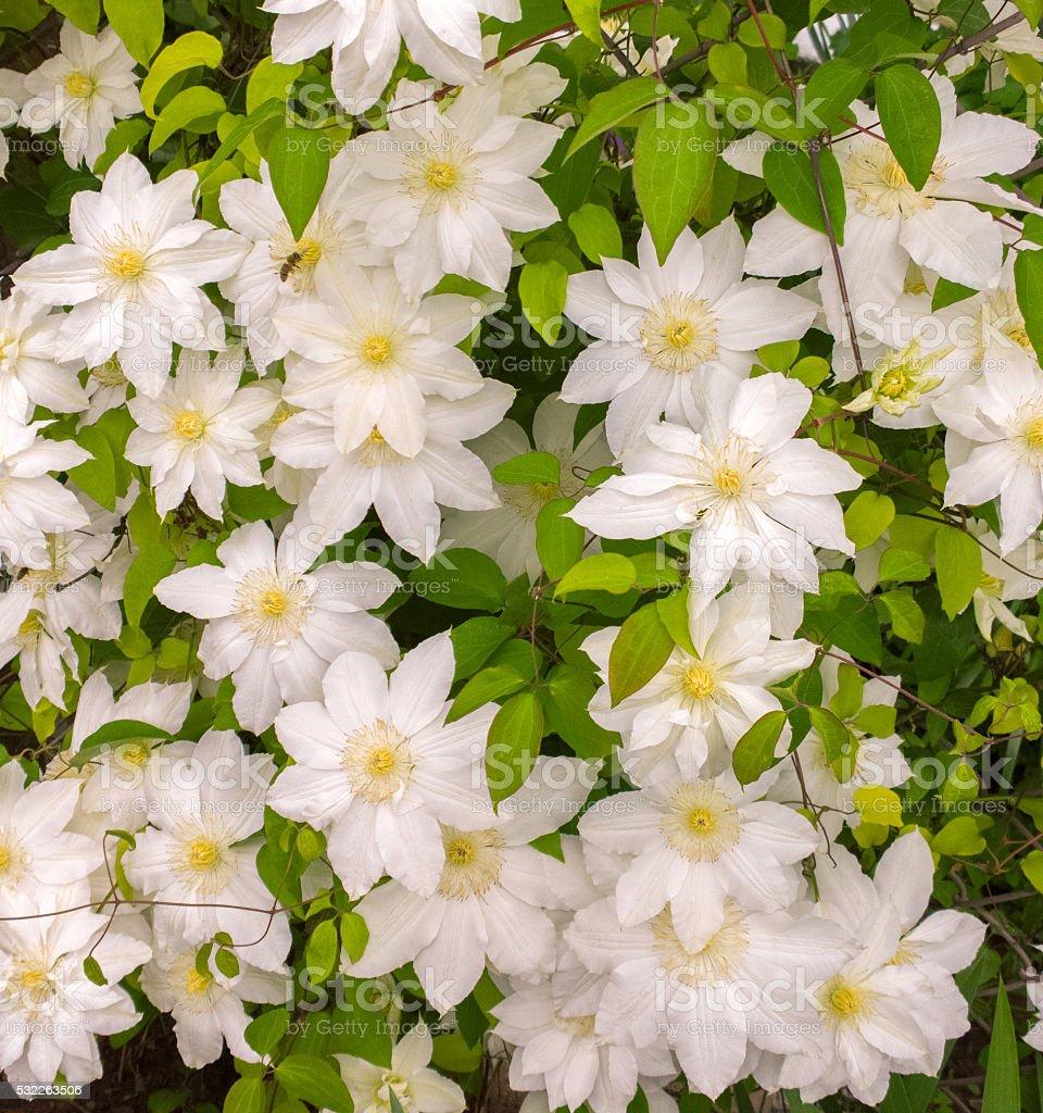 White clematis. stock photo
