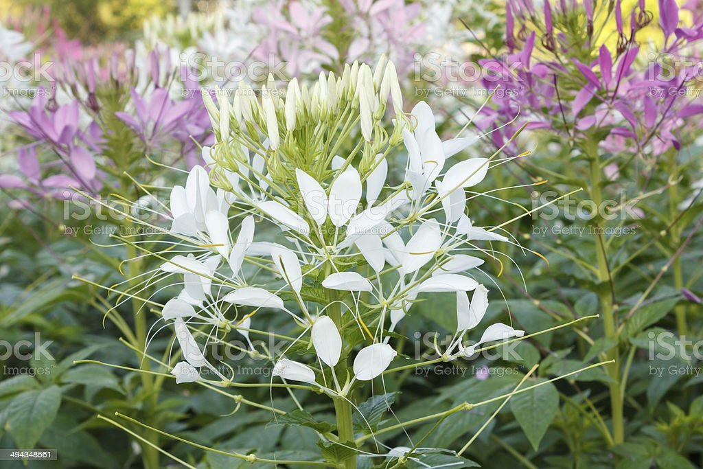 White Cleome or Spider Flowers stock photo