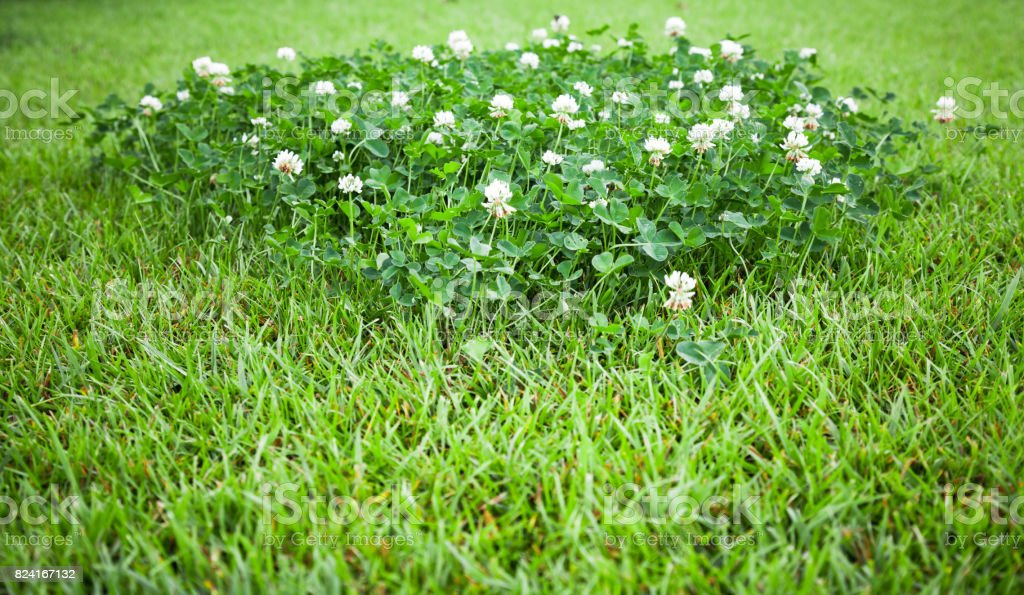 White clover flowers grow on summer lawn stock photo