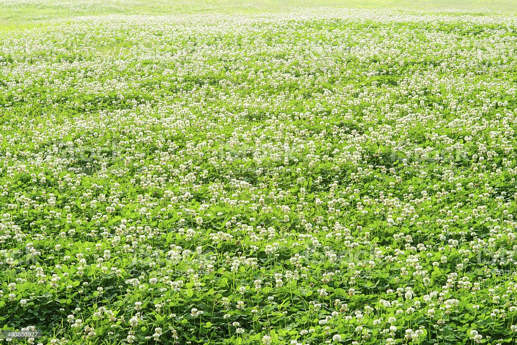 White Clover Flowers royalty-free stock photo