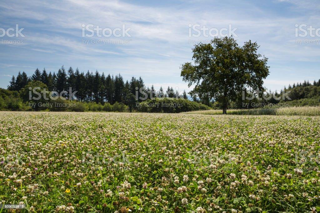 White Clover (Trifolium repens) stock photo