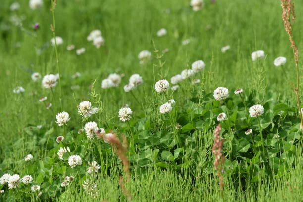 White clover / Trifolium repens – zdjęcie