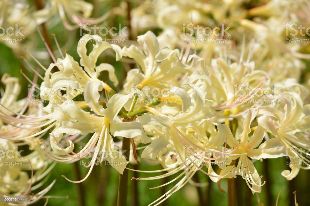 White cluster amaryllis stock photo
