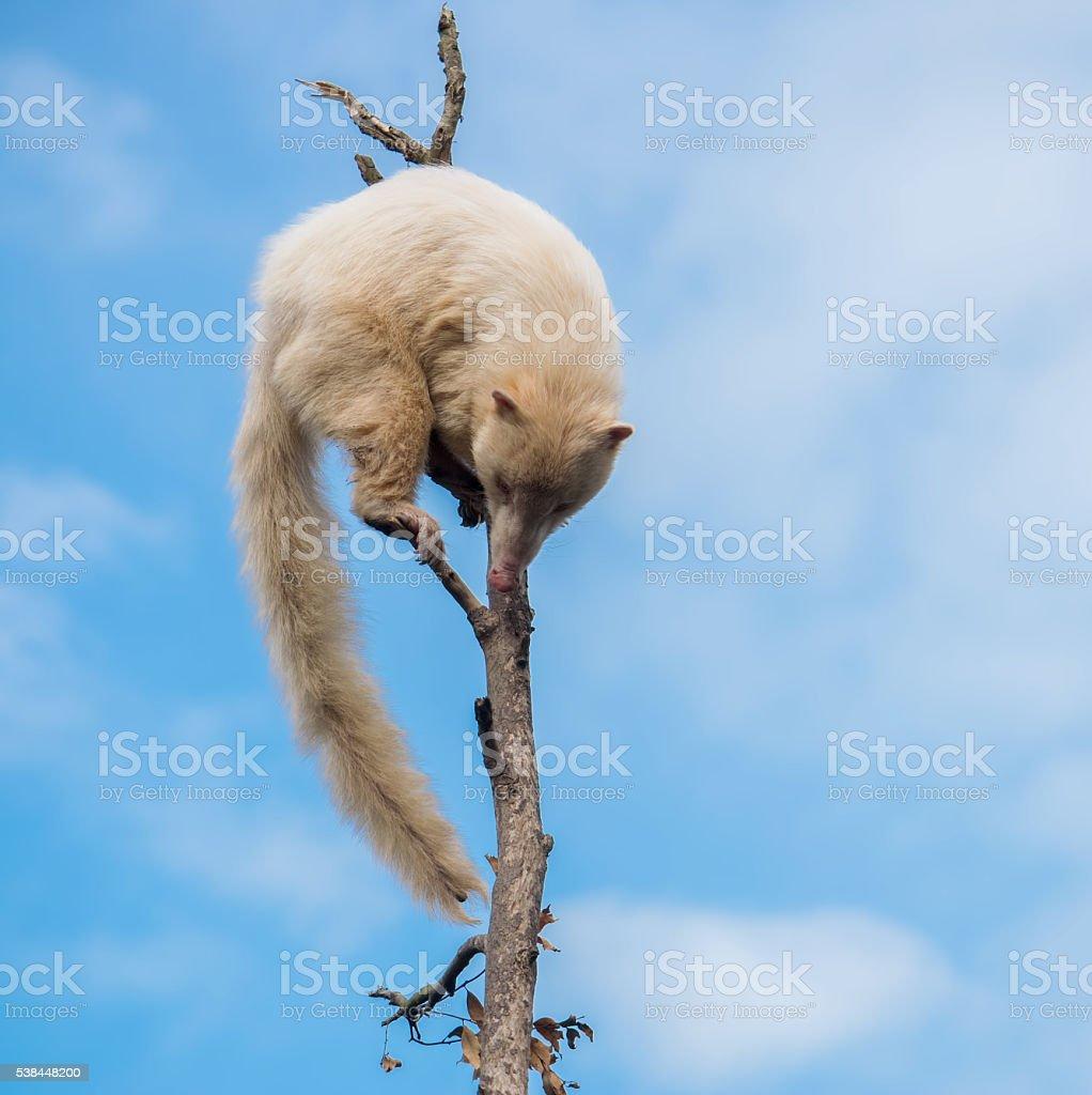 White coati on a tree stock photo