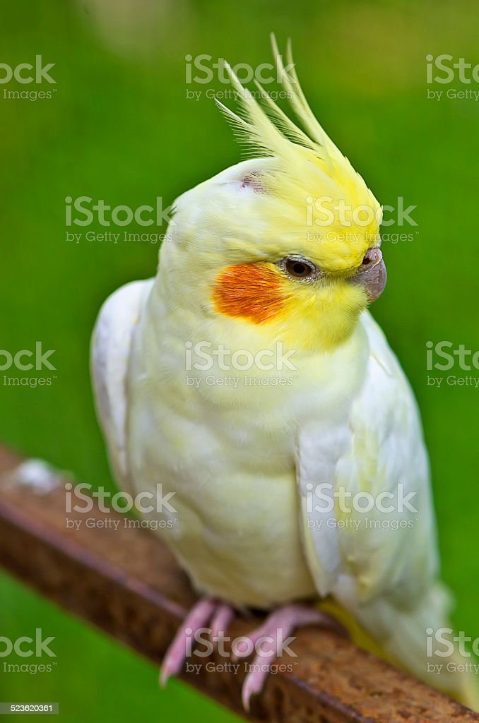 white cockatiel stock photo