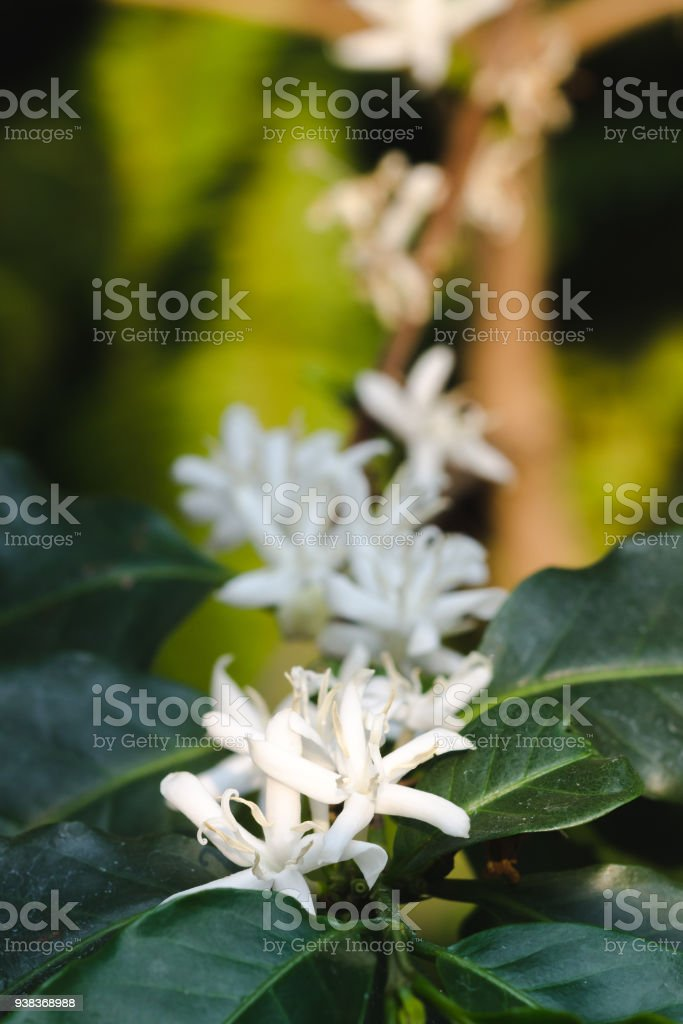 White coffee flowers blooming with blur background