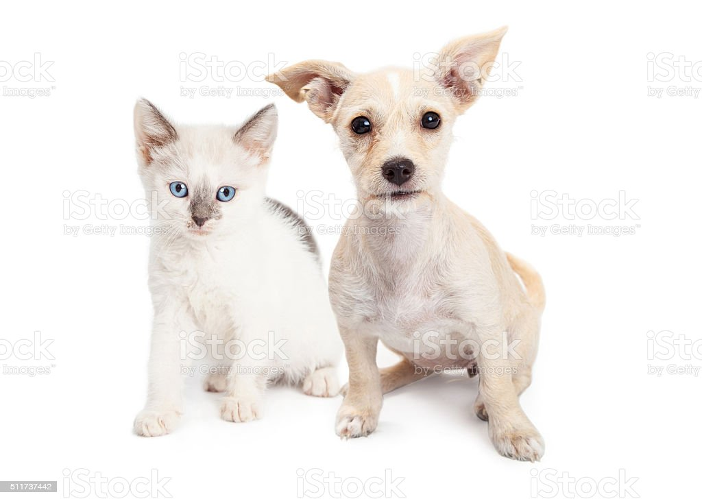 White Color Kitten and Puppy Together stock photo