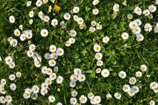 witte gemeenschappelijke daisy, achtergrond - madeliefje stockfoto's en -beelden