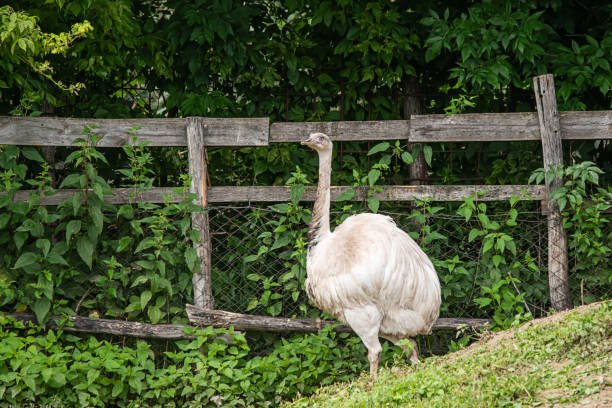 White common ostrich (Struthio camelus) standing on a meadow. stock photo