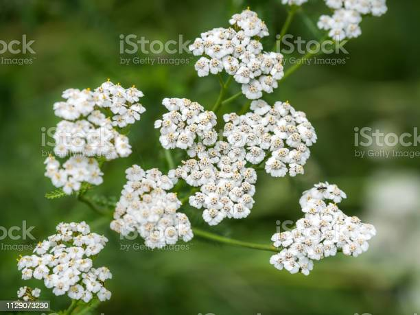 White common yarrow on a green blurry background closeup picture id1129073230?b=1&k=6&m=1129073230&s=612x612&h=notj2 8iid32nfnuoncbag7lnudxf2fohbgduuqqnic=