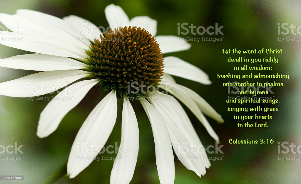White Coneflower with Colossians Bible Verse stock photo