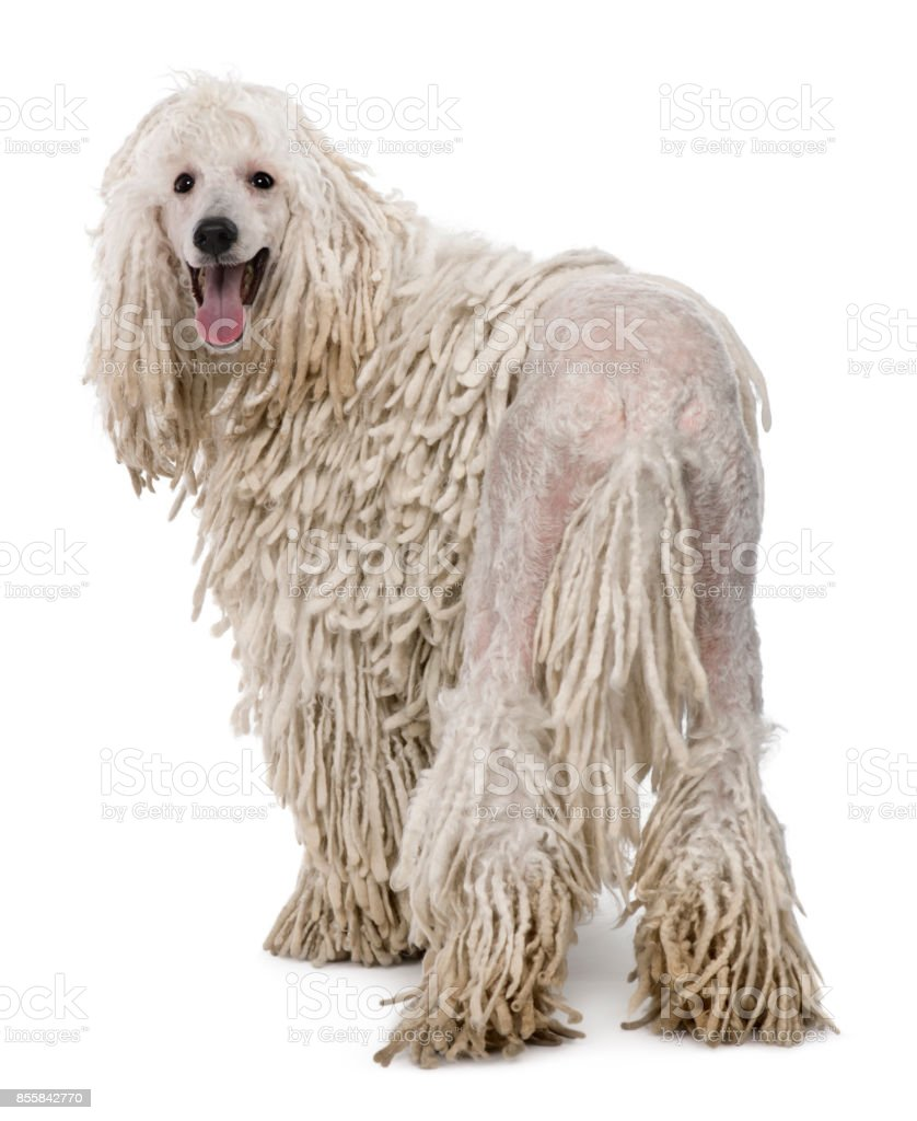 White Corded standard Poodle stock photo