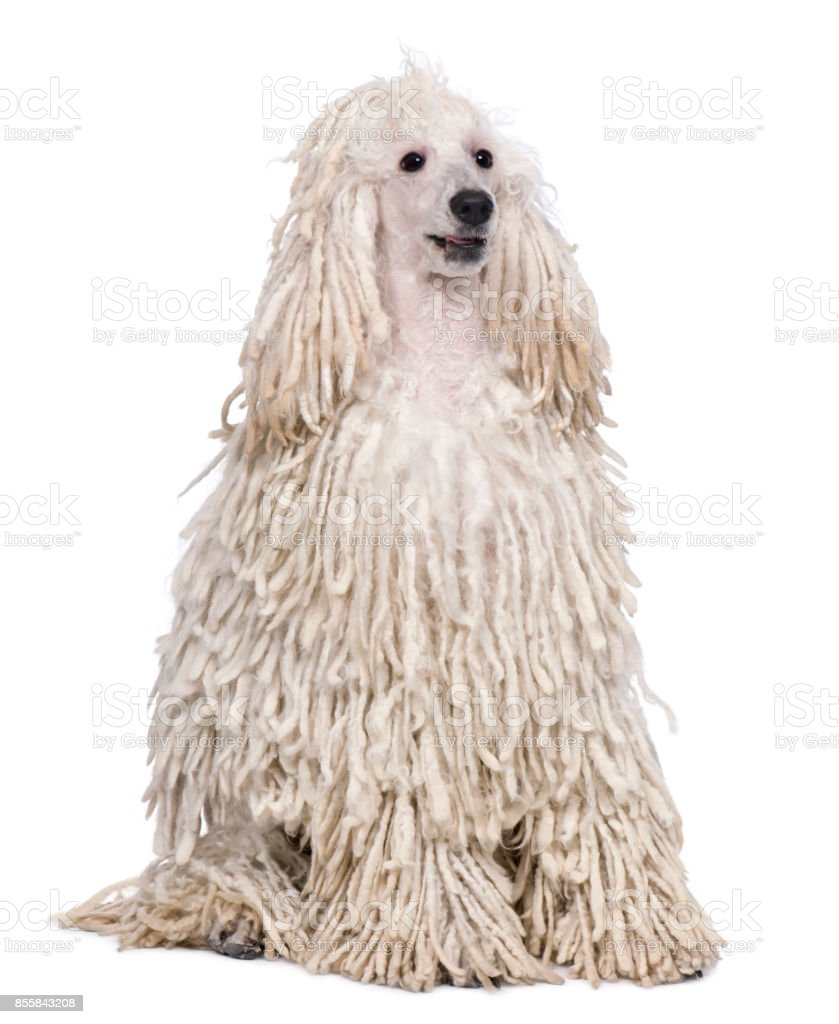 White Corded standard Poodle sitting in front of white background stock photo