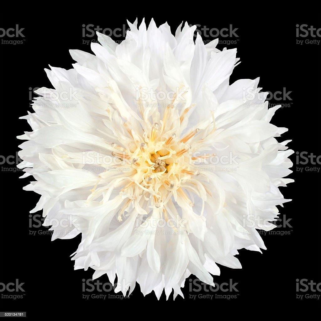 White Cornflower Flower Isolated on Black Background stock photo
