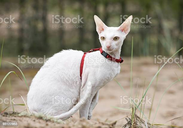 White cornish rex cat picture id93122953?b=1&k=6&m=93122953&s=612x612&h=tv3a83msbs5jfgn6as54ihid lkkrvwmgkyds53cf10=
