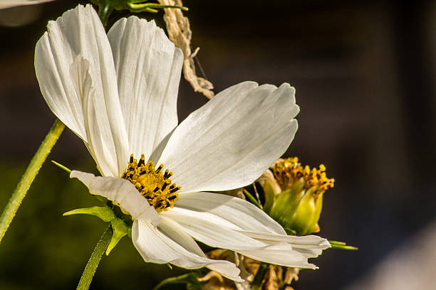 Royalty free single flower aster cosmos flower macro pictures white cosmo flower stock photo mightylinksfo
