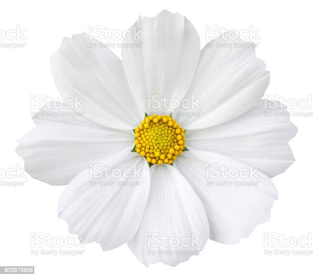 White cosmos flower isolated on white with clipping path picture id820973658?b=1&k=6&m=820973658&s=612x612&h=q70j bz1xu9wwwbq0a iwll4jerydik2fgleyy8whas=