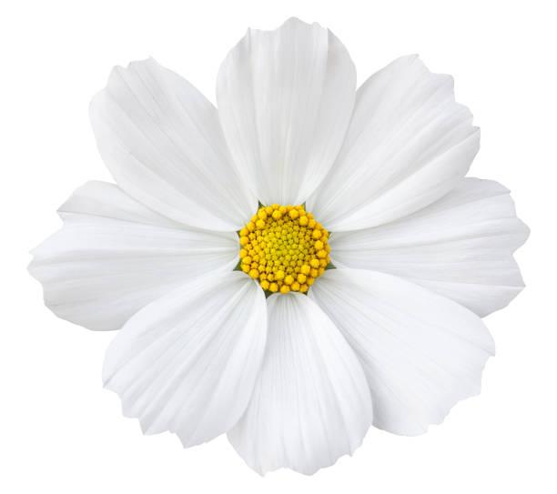 White cosmos flower isolated on white with clipping path picture id820973658?b=1&k=6&m=820973658&s=612x612&w=0&h=xcx28c566ubxletana megvez4ronpubpdt b1ekguq=