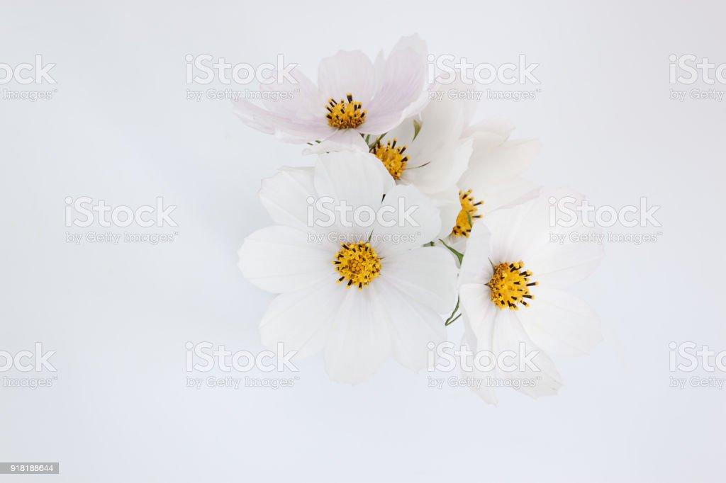 White Cosmos flower on the white background stock photo