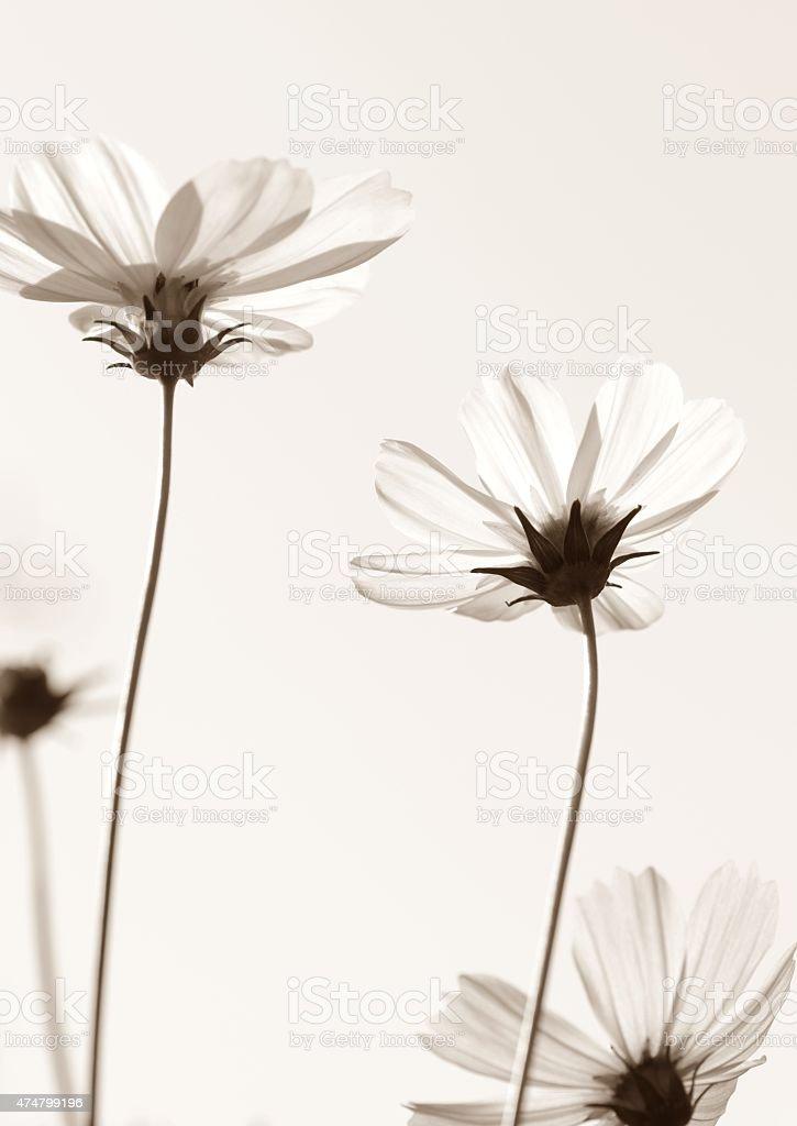 cosmos flores blancas en blanco y negro - foto de stock