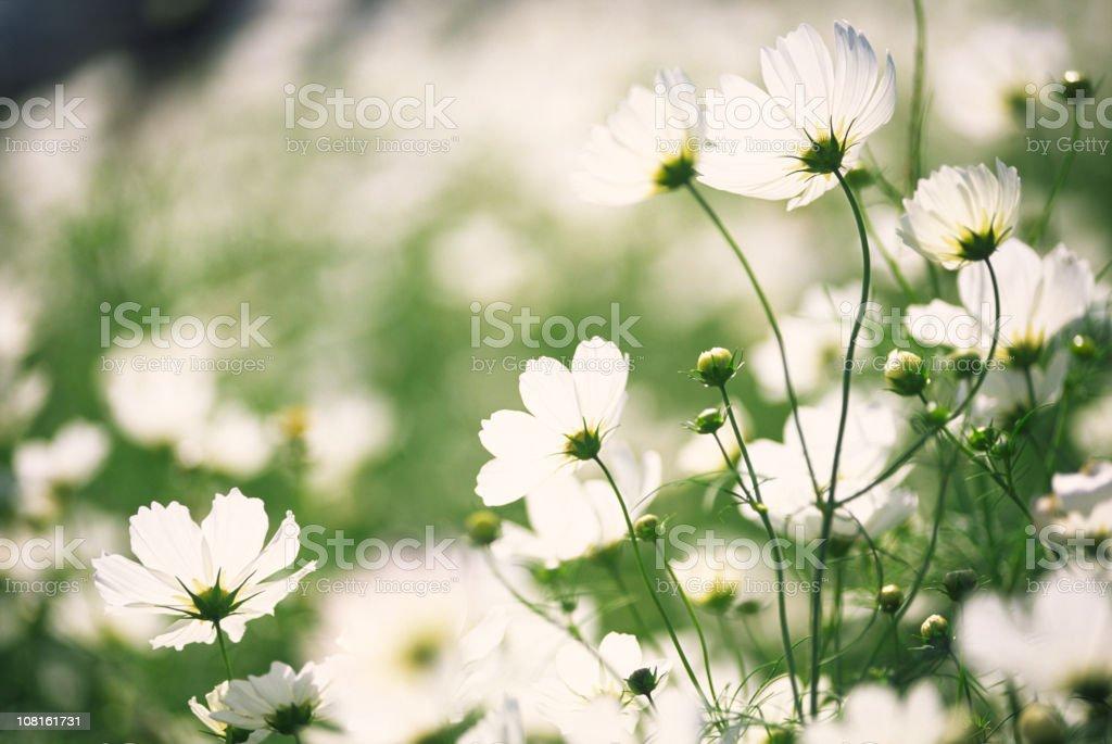 Weiße Kosmos Blumen Im Garten - Stockfoto | iStock
