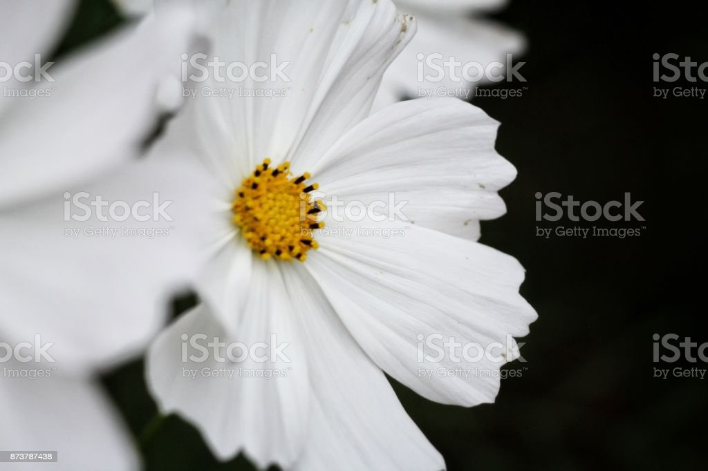 White cosmos flowers on black background stock photo more pictures white cosmos flowers on black background royalty free stock photo mightylinksfo